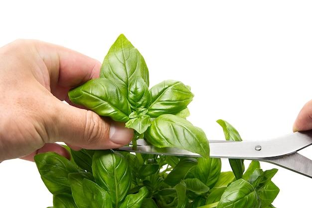 イタリアのバジル、ocimum basilicum、植物から葉を摘む人の手