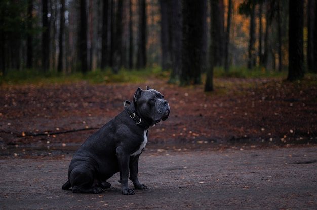 Italian cane corso dog sitting on the road in the autumn forest.