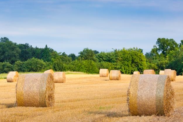 이탈리아 시골 파노라마. 밀밭에 둥근 꾸러미. 농업, 농촌 생활