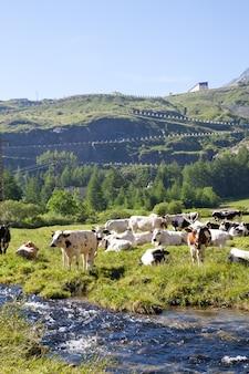 Итальянские коровы в солнечный день недалеко от сузы, пьемонта, итальянских альп
