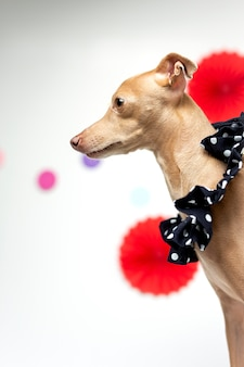パーティーを祝うイタリアのグレイハウンド犬