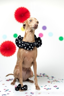 Italian greyhound dog celebrating a party