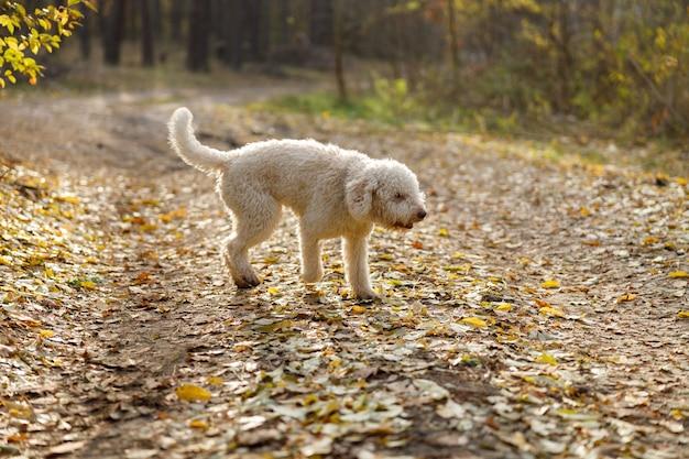 Белая кудрявая собака итальянского лаготто на прогулке в осеннем лесу
