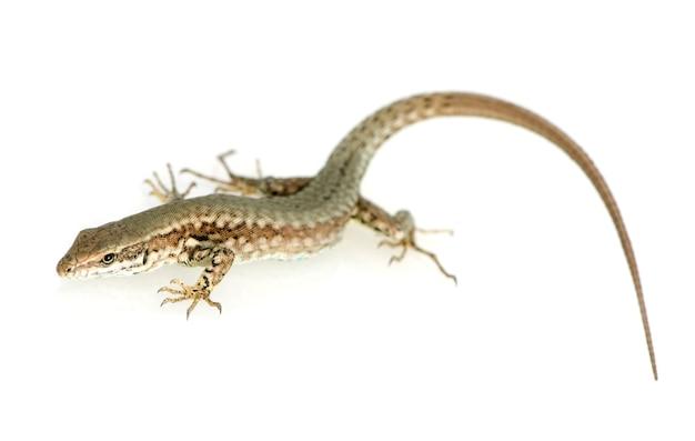 Italian wall lizard on white