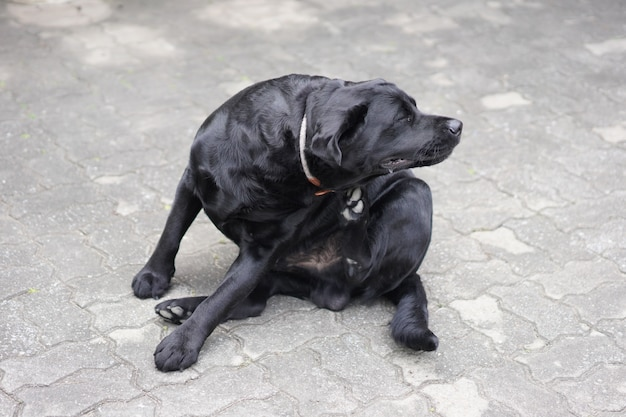 Itchy black labrador dog uses his leg to scratch his body