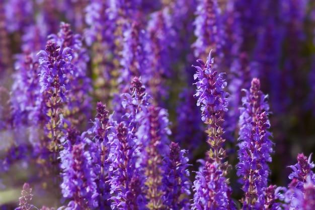 イワン茶、fireweed、紫色の花、背景