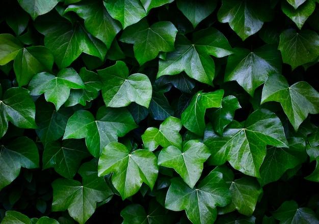 緑のiviの葉のテクスチャ