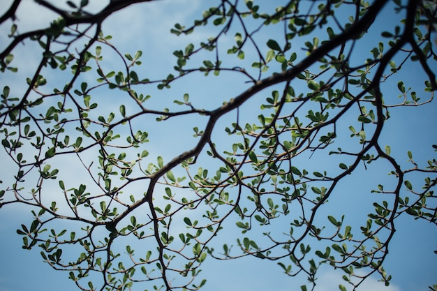Ivory coast almond branches on blue bright sky.