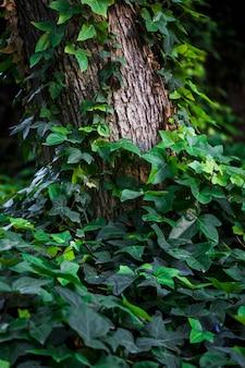 Ivy climbing up tree trunk