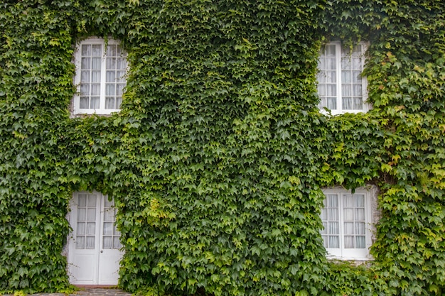 Ivy covers house