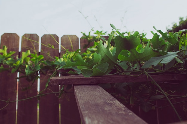 Ivy gourd climbing on a trellis