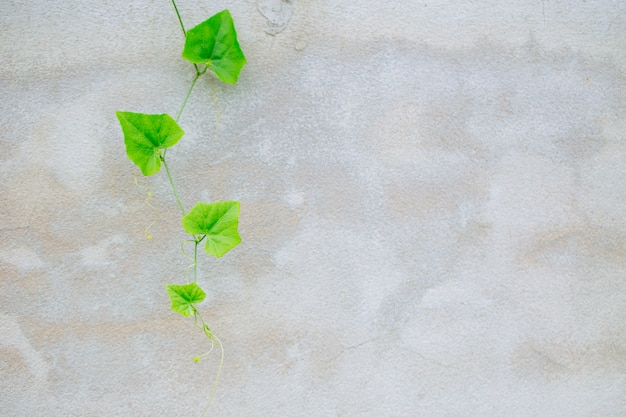 Ivy gourd on gray concrete wall. vine green nature background with space for text