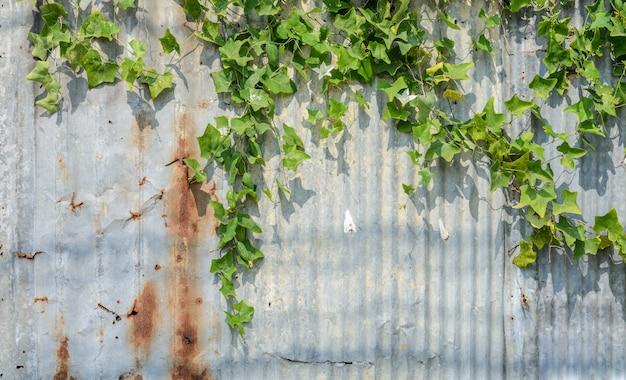Тыква плюща или растение coccina grandis на гофрированной стене