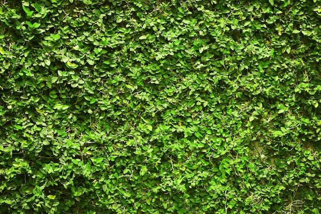 Ivy green leaves covered the wall. of natural tree fence for design art work.