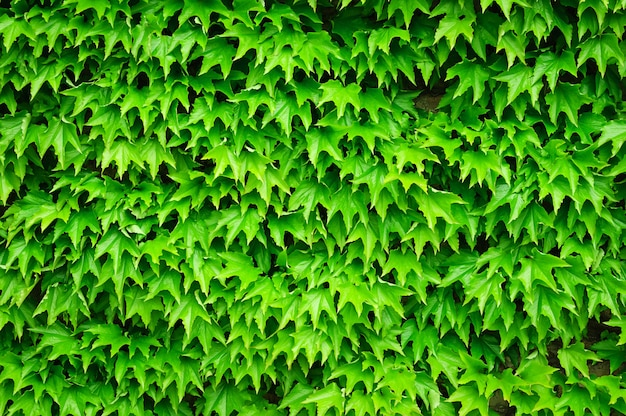 Ivy green leaves over wall horizontal background