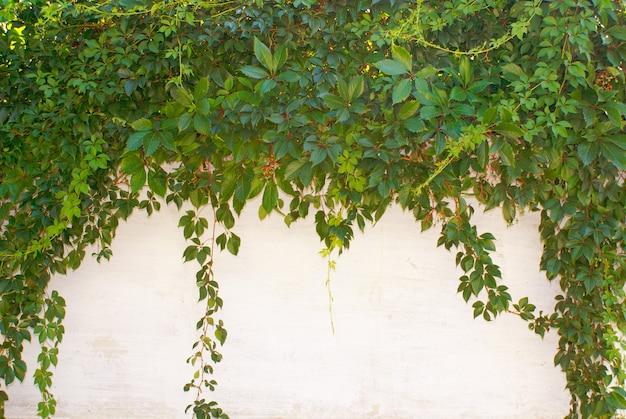 Фон листьев плюща
