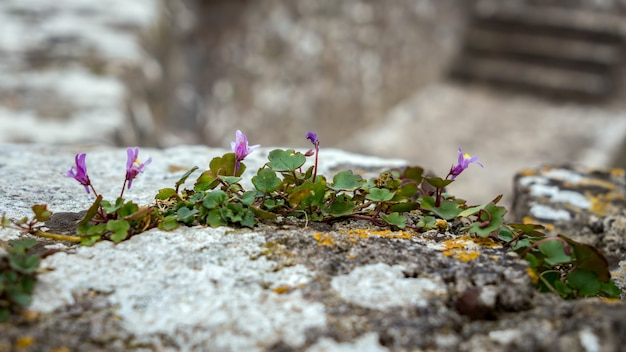 Ivy-leaved toadflax (cymbalaria muralis) growing on a wall in pembroke