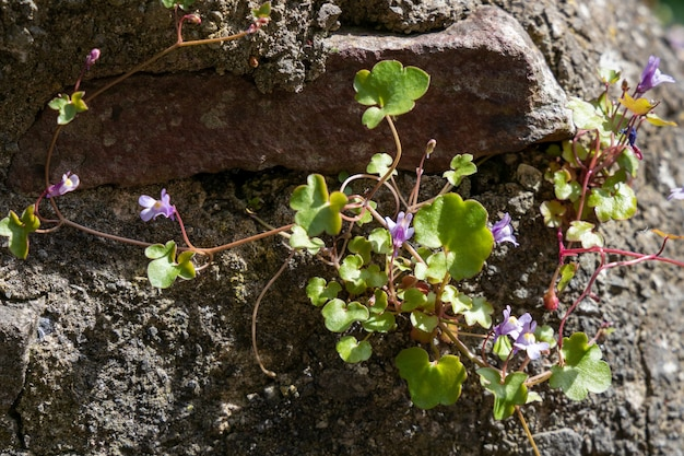 Ivy leaved toadflax growing on a wall in bristol