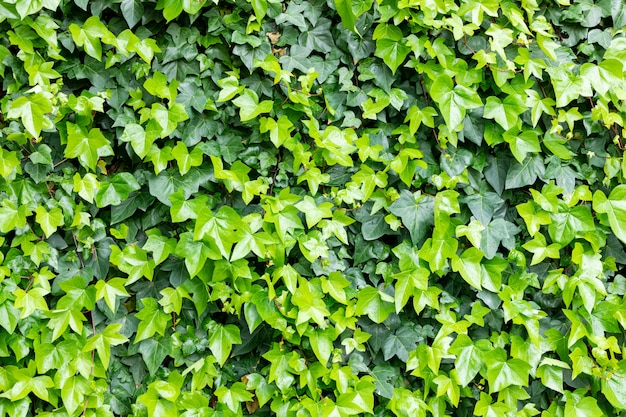 Ivy leaves to use wallpaper