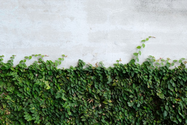 Ivy leaves on the wall