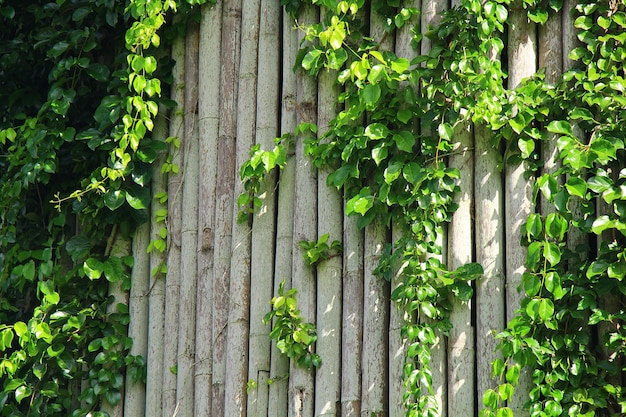 Плющ на бамбуковой стене для естественного украшения с концепцией стиля свежести