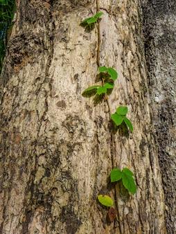 Плющ на природе кора деревьев.
