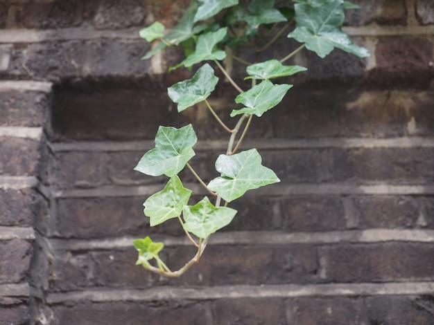아이비 식물과 벽 배경