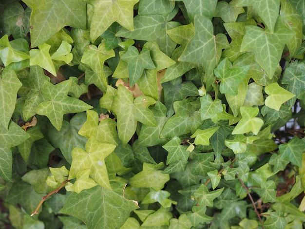 아이비 식물 배경