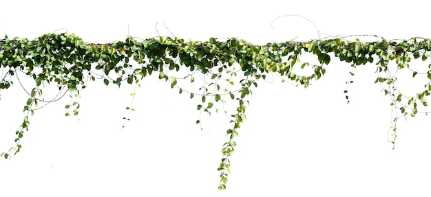 Изолировать растение плюща на белом фоне