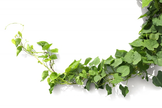 Ivy plant isolate on white