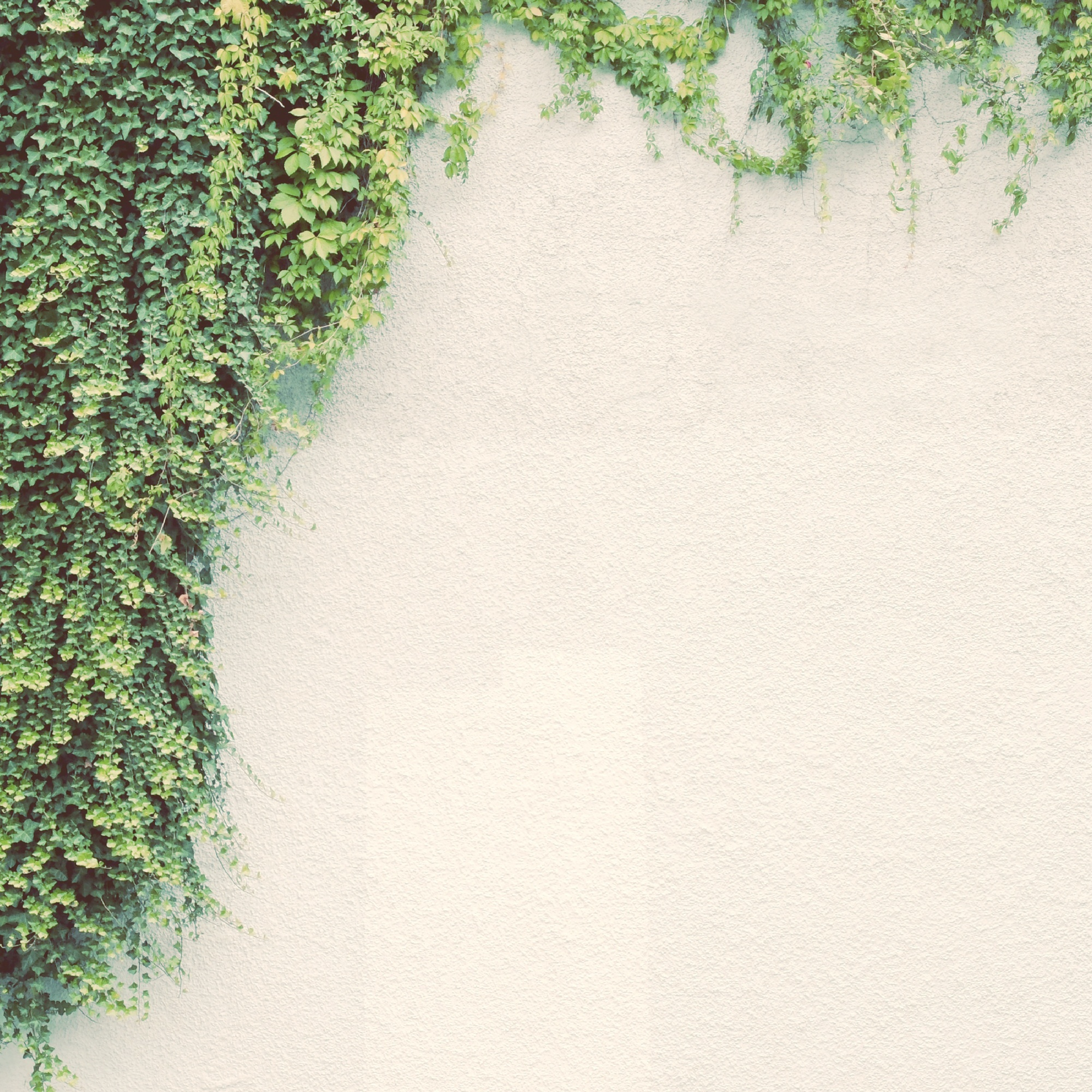 Ivy plant on white wall with retro filter effect