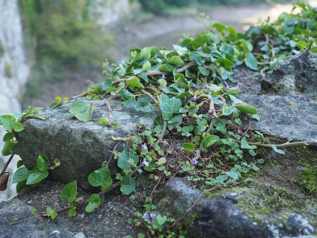 Ivy plant and stone background