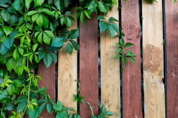 木製の縞模様の茶色の柵を背景に、ツタの植物、野生ブドウ。高品質の写真