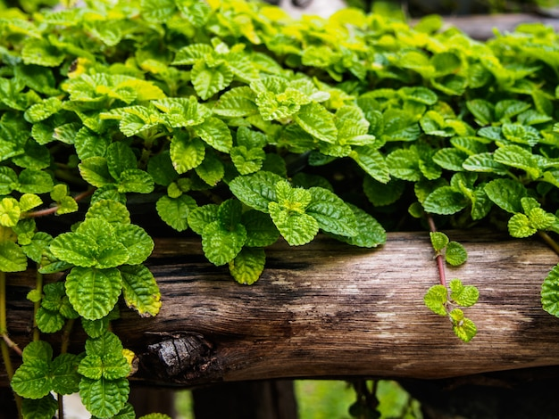 Ivy on small timber