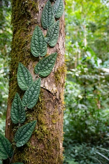 Ivy species with green leaves on the trunk of tree.