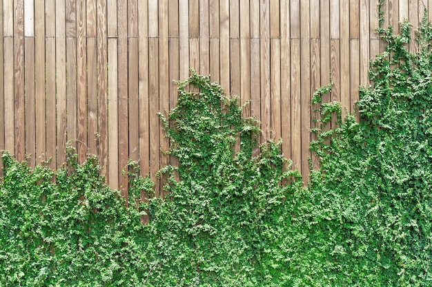 Ivy on the wall made of wood