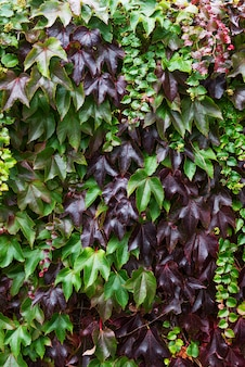 Ivy with red and green leaves on the red brick wall during fall