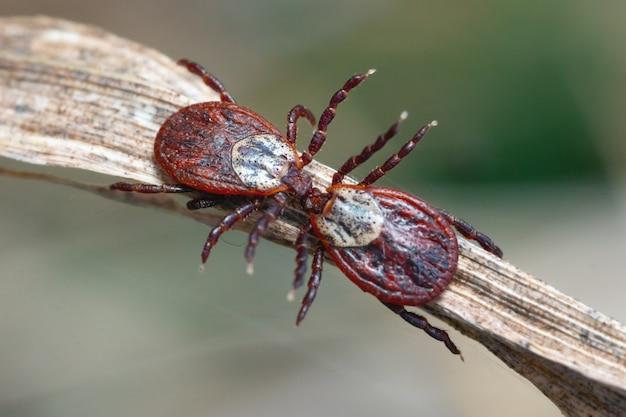 Клещи ixodes целуются на сухой траве на открытом воздухе в весенний макрос