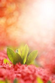 Листья ixora coccinea, род цветковых растений в семействе rubiaceae, шип красного цветка. селективный фокус и тонированный цвет.