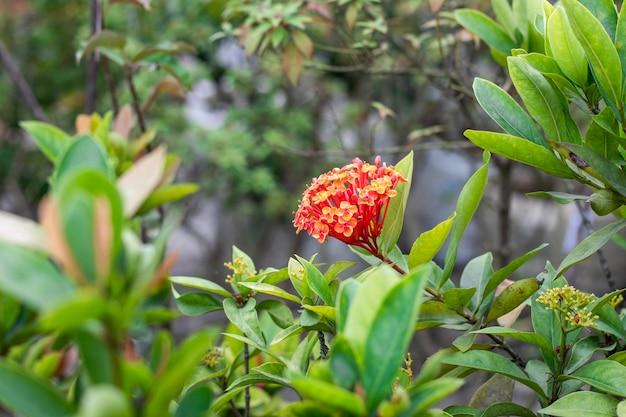 植物園の中に葉を持つ木の上のイクソラの花