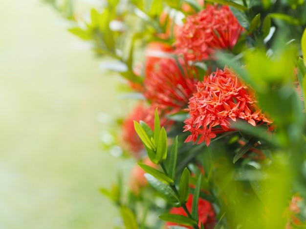 緑の葉を持つ中国のixoraまたはixoraクラスター。
