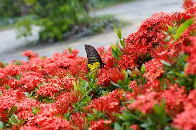 Иксора с бабочками