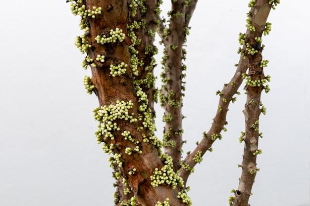 자보티카바 꽃 준비