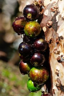 Jabuticaba, красивые мокрые дождем jabuticabas на залитых солнцем ветвях дерева, выборочный фокус.