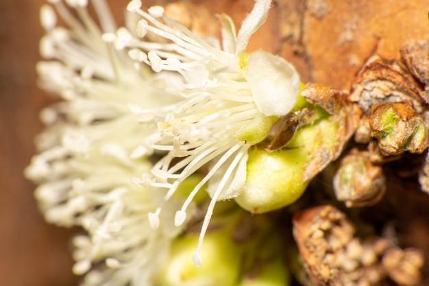 Jabuticaba flower, a beautiful jabuticaba flower before becoming a fruit, selective focus.