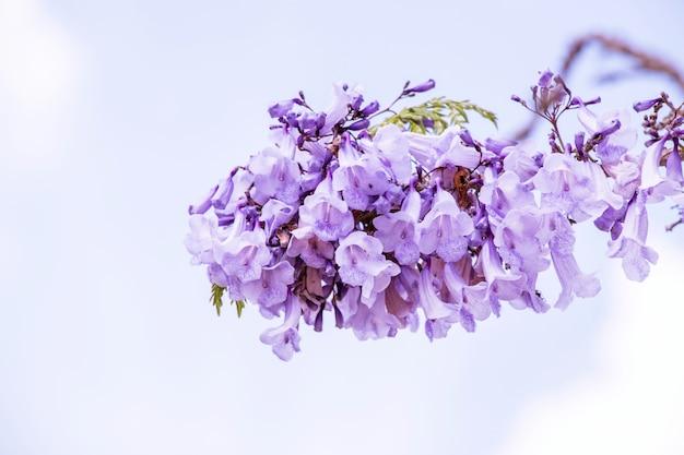 ハカランダの花が青空にいる