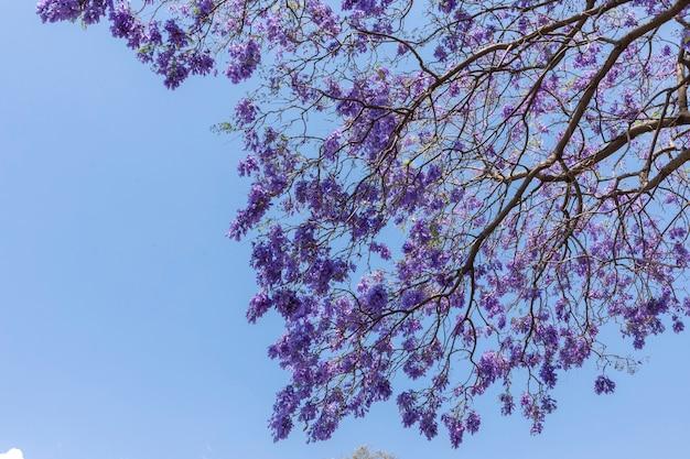 背景に青い空とジャカランダの花 Premium写真