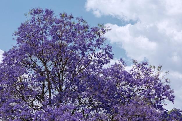 背景に青い空とジャカランダの花
