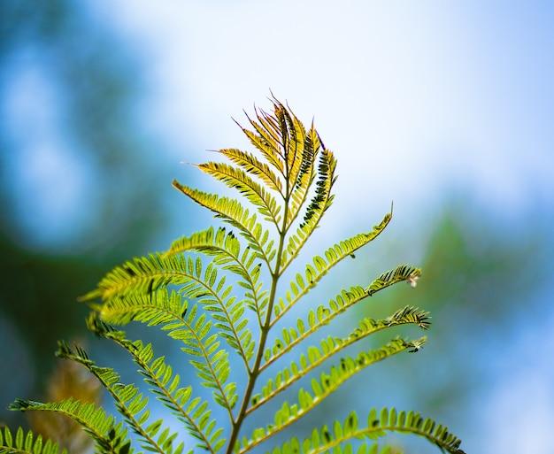 背景をぼかした写真のジャカランダの葉