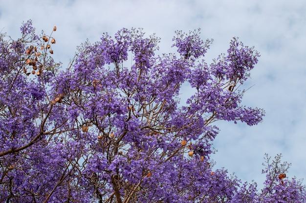 ジャカランダミモシフォリアの木